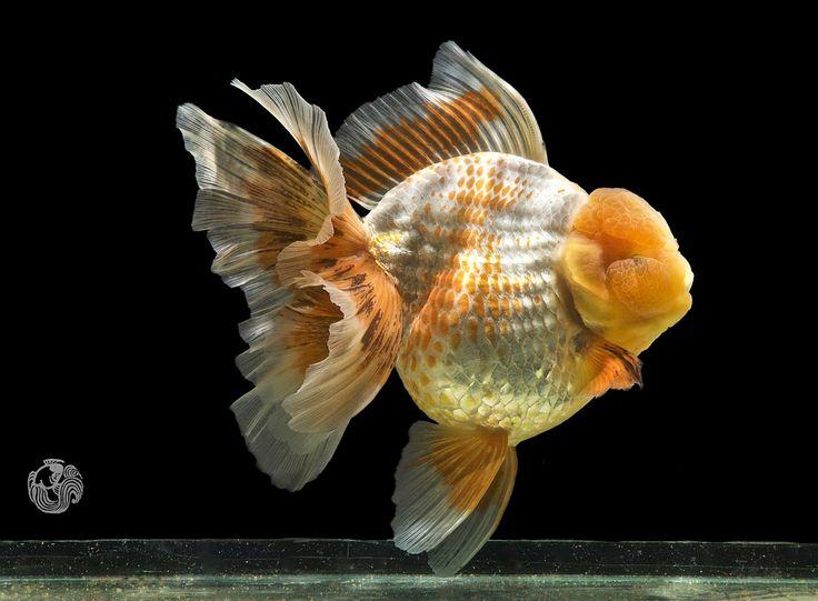 Polkadot Oranda From Nk Farmthailand Owner Mr Leslie Wang 美しい魚 金魚 動物
