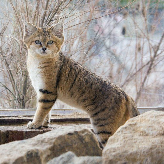 The Sand Cat (Felis margarita) lives in the deserts of Africa, the Arabian Peninsula, and western Asia. It is about the size of a domestic cat, with thicker and longer fur. Sand Cats have wide heads and fur growing between the toes, a feature often found in Arctic cats.