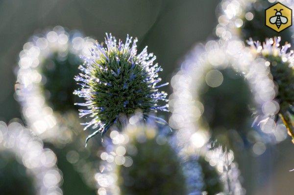 Mikołajek płaskolistny (Eryngium planum) jest rośliną bardzo nektarodajną.