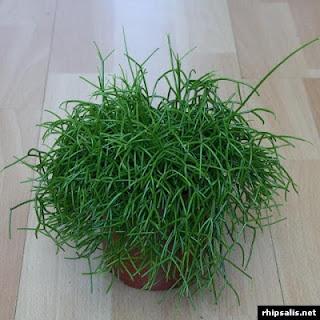 Cactus muérdago