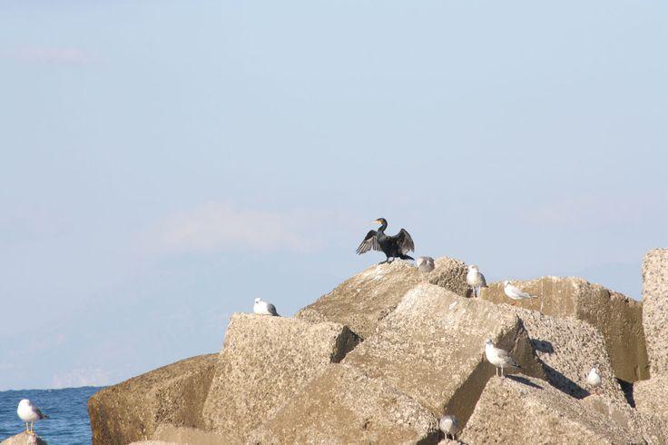 Un cormorano tra i gabbiani.