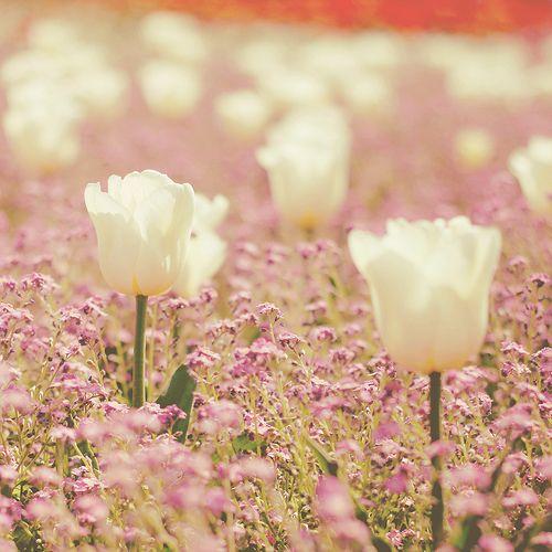 serene: Pink That, Enjoy Spring, Pretty Tulip, Bloom Springtime, Pink N Purple, Bloom Blossoms, White Tulips, Pretty Flower, Flower Stories