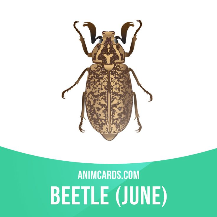 June Beetle is a genus of scarab beetle includes about 50 species distributed in North and Central America, southern and central Europe, northern Africa, and southern Asia—from Asia Minor to Japan. They typically reside in forests and orchards with most being identified by white elytra scales forming stripes. Learning English can be fun! Visit our website: learzing.com #english #englishlanguage #learnenglish #studyenglish #language #vocabulary #dictionary #englishlearning #funenglish #vo