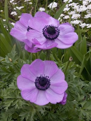 129 Best Images About Anemone Windflowers On Pinterest Gardens Pictures Of And Shades