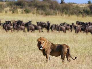serengeti national park | serengeti_national_park_lion_wildebeest_tanzania_national_parks_luxury ...