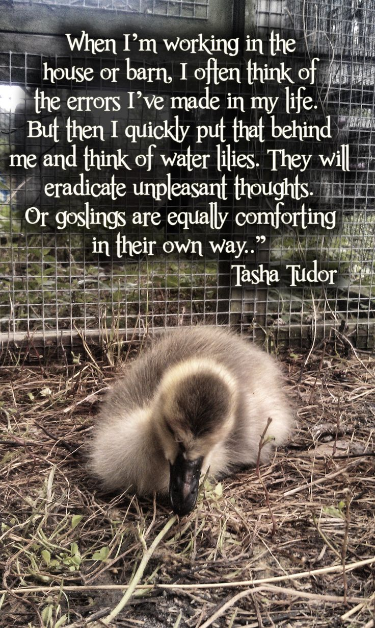 One of my favorite quotes from Tasha Tudor combined with a picture of one of our baby goslings.