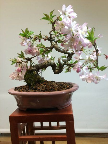 Bonsai Cerezo Japones - Bonsais la Perla