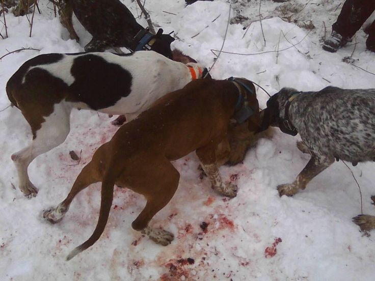 Hounds with caught coyote! Coyote Hunting Pinterest