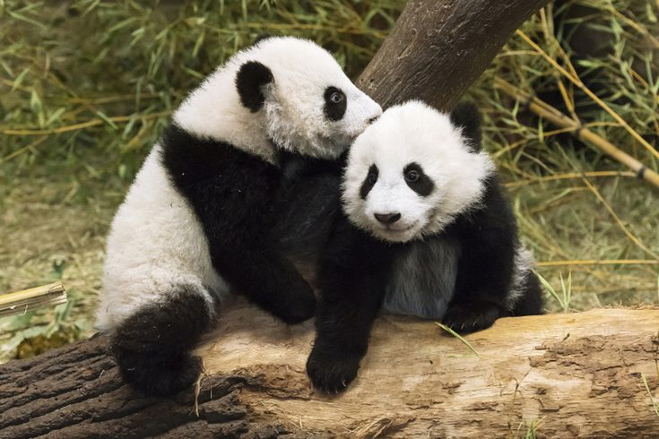 The Giant Panda twins at Schönbrunn Zoo are now five-months-old! The popular brother and sister were born to mom, Yang Yang, on August 7, 2016.