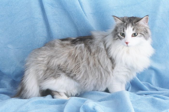 Norwegian Forest Cat - Cat Stats