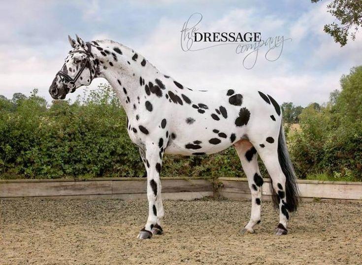 Palousa San Sebastian - UK and Europe - Appaloosa stallion at stud