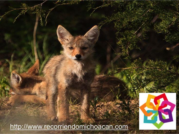 MICHOACÁN MÁGICO te informa ¿qué significa el nombre de Ihuatzio? En idioma purépecha tiene el significado de lugar de los coyotes, aunque también fue llamado Coyoacán debido a que el idioma náhuatl  era el más conocido para los españoles del siglo XVI. HOTEL ESTEFANIA http://www.hotelestefania.com.mx/