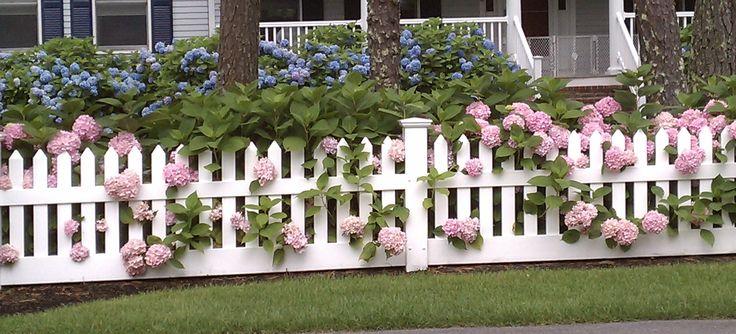 Hydrangeas peeking through the picket fence .....love!: Picket Fences, Blue Hydrangeas, Backyard Landscape, Backyard Fence, Blue Gardens, Plants A Gardens,  Pale, Capes Cod, White Picket Fence
