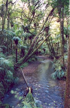 Mangere Stream in Pukenui Forest. Photo: Terry Conaghan.
