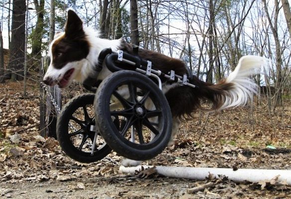 NOT MUCH TO SAY BUT....WHAT A DOG: Border Collies, Roosevelt, Pet, Wheels, Front Legs, Puppys, Dogs Stories, Dogs Photo, Disabilities Border