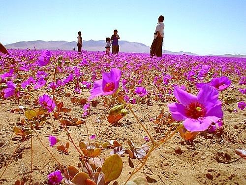 Desert wild flower in Atacama, Chile