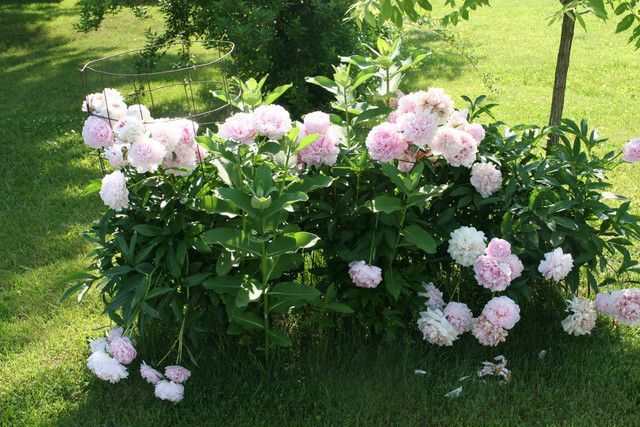 I need a peony bush!! Used to have two. Love the smell of those flowers and they are awesome in a vase!