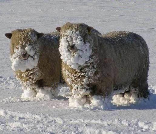 Funny sheep to make you smile: snowy sheep on LoveKnitting