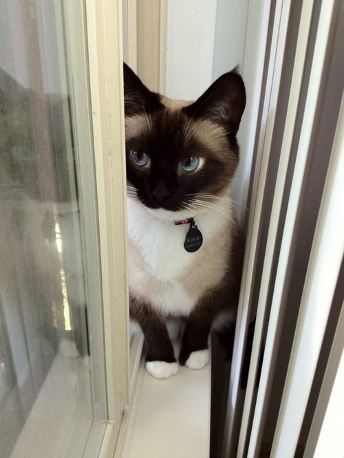 SIAMESE CAT, these are my true favorites! evil yet spiritual-looking cats! Love love love them