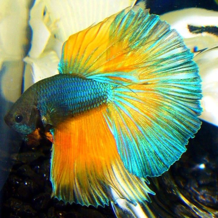 85 best images about fighter fish on pinterest copper for Best water for betta fish