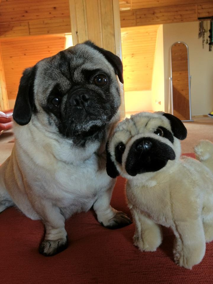 Small Toy Pugs : Ideas about toy pug on pinterest teacup dogs for