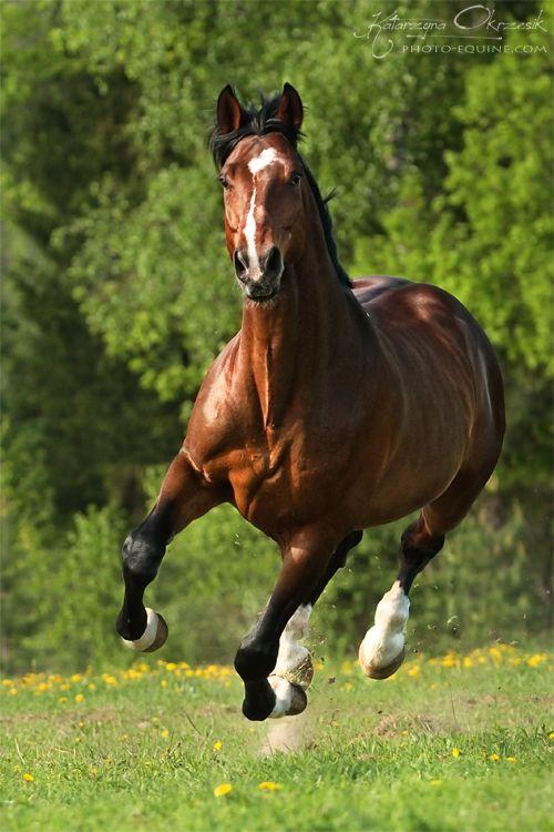 Hanowerskiego Konie - Konie Fotografia Katarzyna Okrzesik