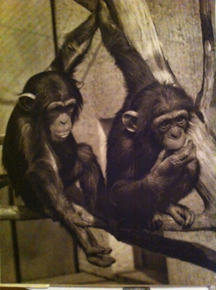 Cute Baby Chimpanzees Playing Cute Baby Chimpanzees