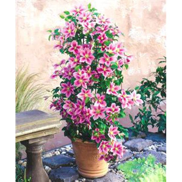 I Might Try Growing Clematis This Way And See If It