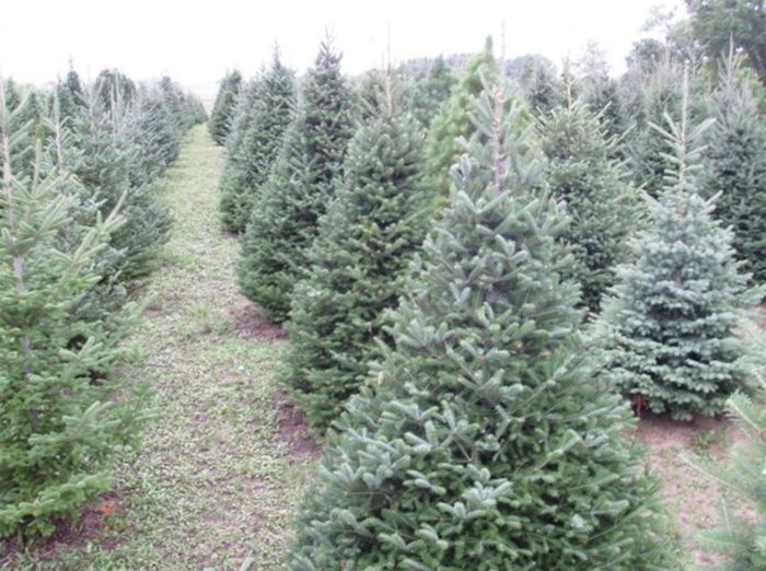 These 11 Lovely Christmas Tree Farms In Minnesota Are Picture Perfect For A Winter Day Christmas Tree Farm Tree Farms Christmas Tree