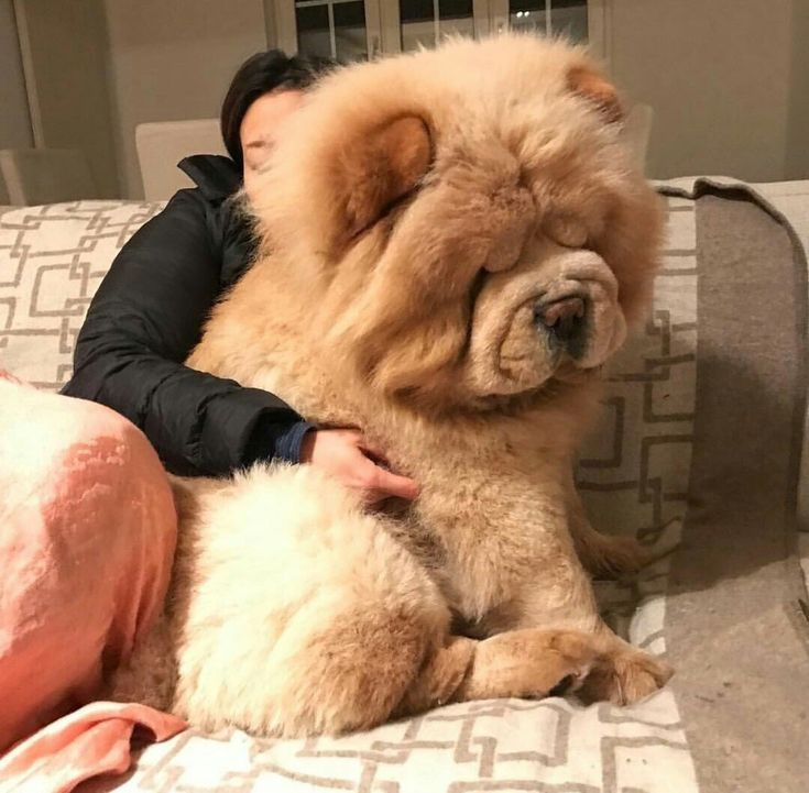 Wauw I Love The Size Of The Dog Fluffy Dogs Cute Baby Animals