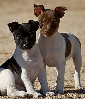 Rat Terrier breed info,Pictures,Characteristics,Hypoallergenic:No