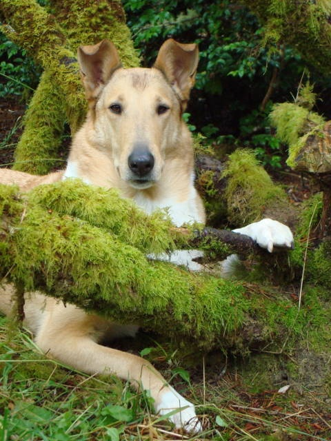 Beautiful picture of a Smooth Collie w/ moss. ...........click here to find out more http://googydog.com