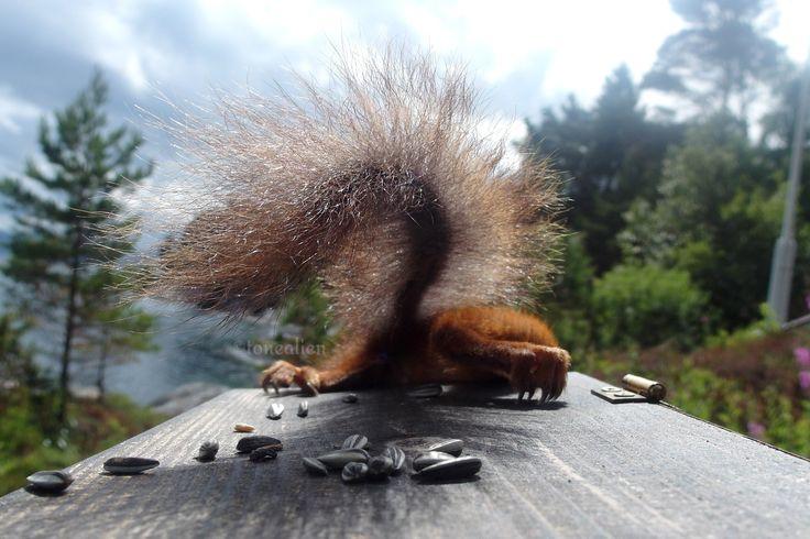 #squirrel #birdfeeder #Norway #cute   Clever squirrel stealing food from a hopper bird feeder. 1 of 6. Kjøra, Norway.