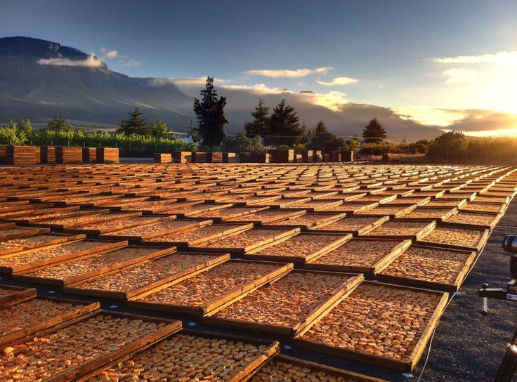 Sunrise over peaches drying on the drying yard on Koelfontein farm, outside Prince Alfred's Hamlet in the Ceres valley. (Photo A. Jacobsen)