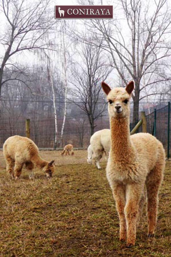 """I don't know Them! Just kidding! xD xD Love all alpacas"""