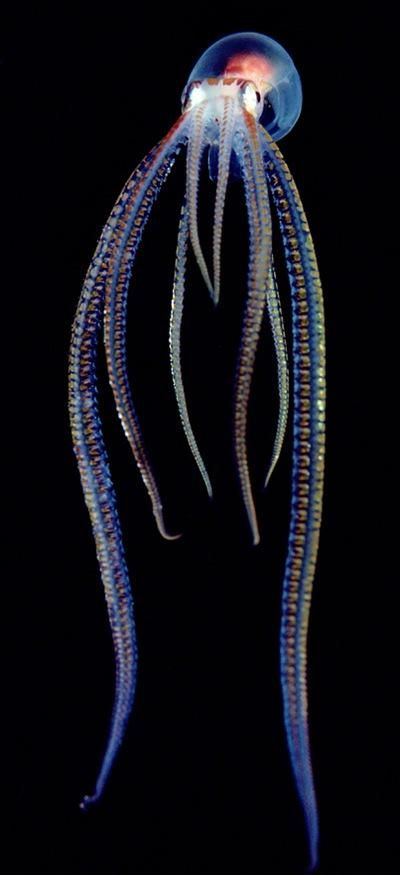 Pelagic Octopus    Photograph by Chris Newbert, Minden Pictures    A pelagic, or open-ocean, octopus gives off a neon glow in Hawaii. Most species of octopus have no internal skeleton, unlike other cephalopods.