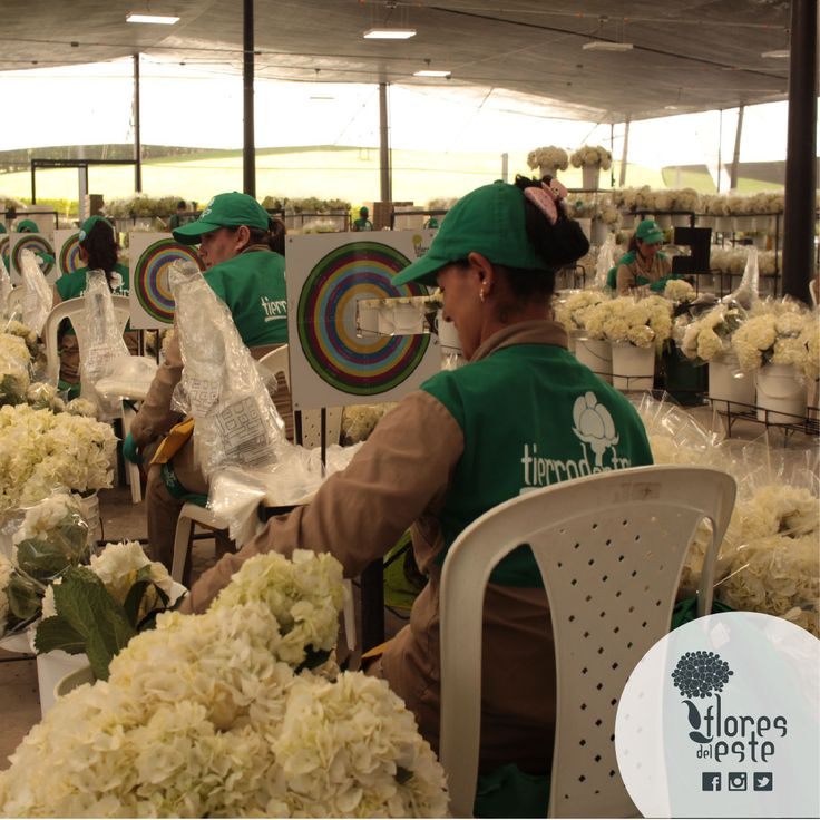 Want to know more about the magical process of our hydrangeas? visit us www.floresdeleste.com #floresdeleste