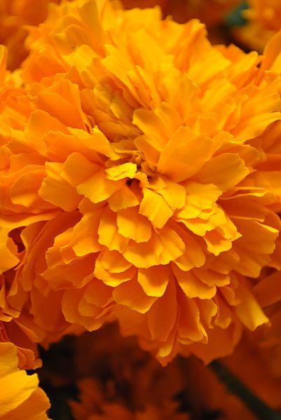 La flor de Cempasuchilt,se usa como ofrenda en los altares del Dia de Muertos,sus petalos representan los rayos del sol-
