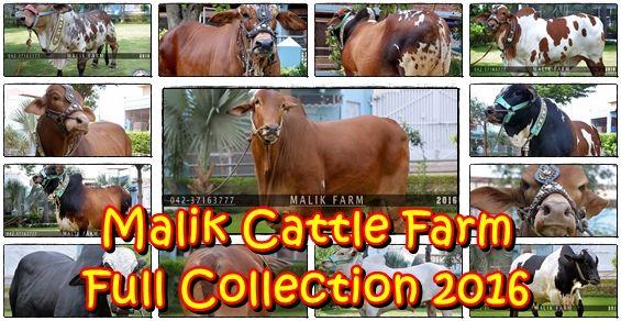 Malik Cattle Farm - Eid Ul Adha 2016 - Cow Qurbani 2016 Collection - Bakra Mandi Pakistan | Cow Mandi 2016 | Qurbani 2016
