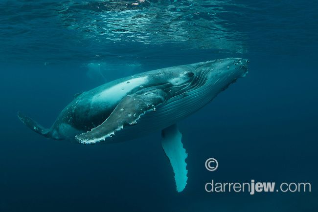 young humpback whale   Darren Jew Photographer
