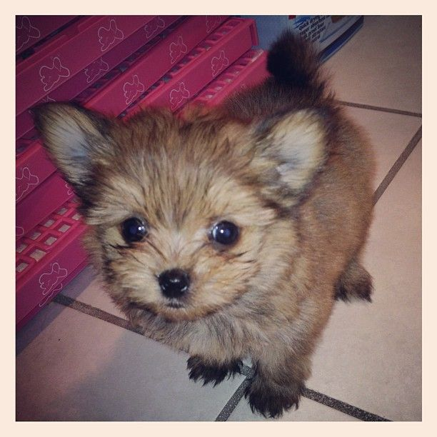 !Meet the soon-to-be newest member of the Busch family!!She is a porkie, a pomeranian/yorkie mix