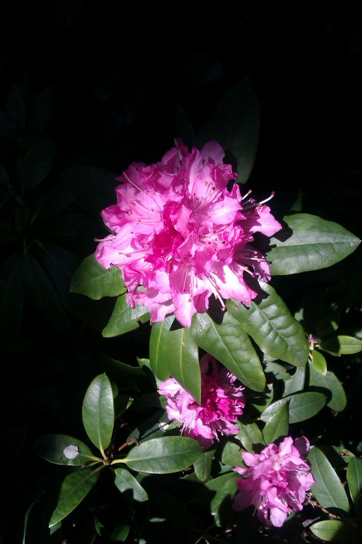13/04/16 : Rhododendron