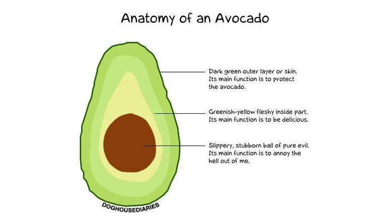 Anatomy of an Avocado.Perfect Fruit, Laugh, Anatomy, Food, Funny Random, Avocado Humor, Mornings Coffe, Eating, Funny Stuff