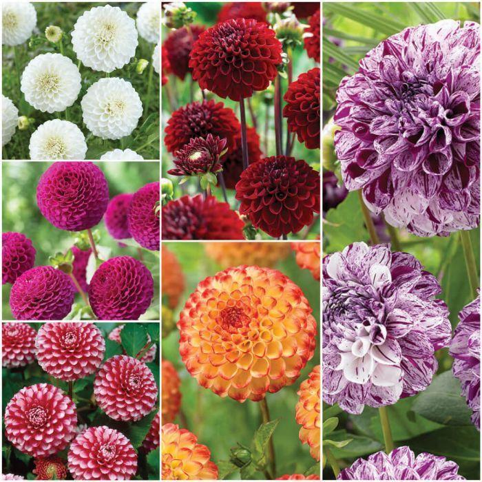 Dahlia Ball Collection Veseys Veseysbulbs Springplanting Growwithveseys Growyourown Flowergarden Bulbsandperenn Spring Bulbs Indoor Flowers Dahlia