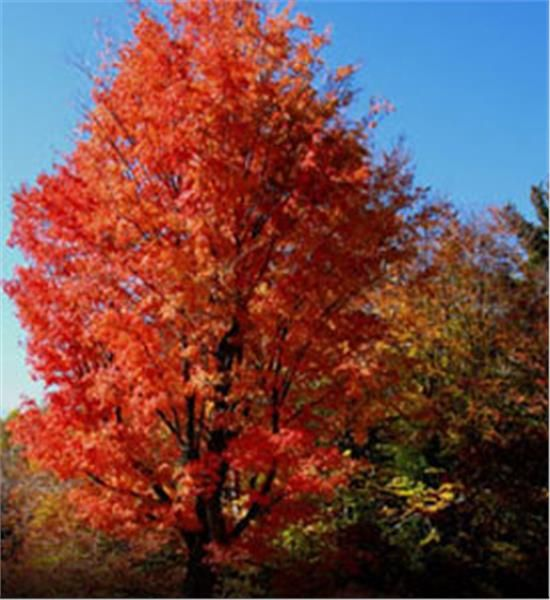 40'-60' tall with 40' spread. Red Maple - Acer rubrum