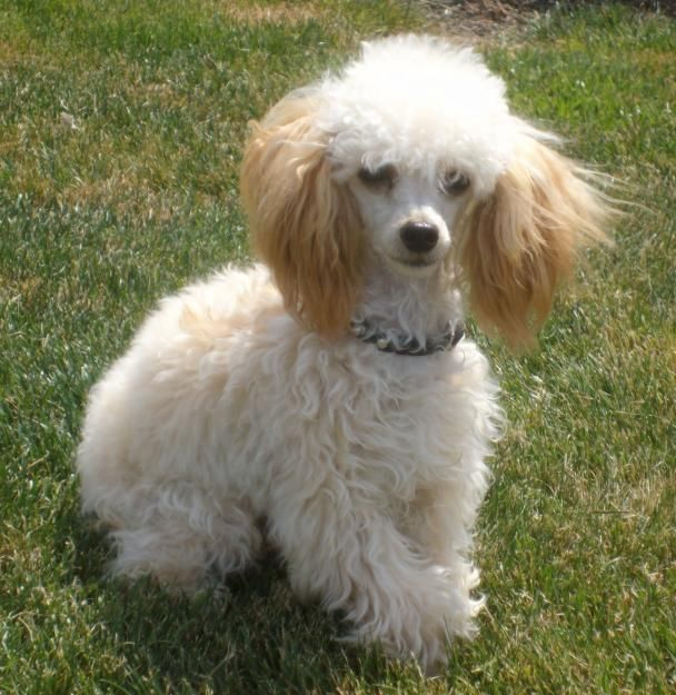 full grown toy poodles | Cats & Dogs | Pinterest