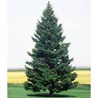 Douglas fir info