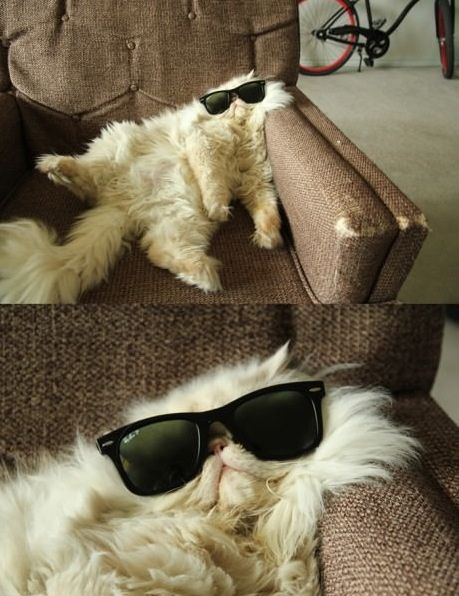haha a cat chillin with sunglasses
