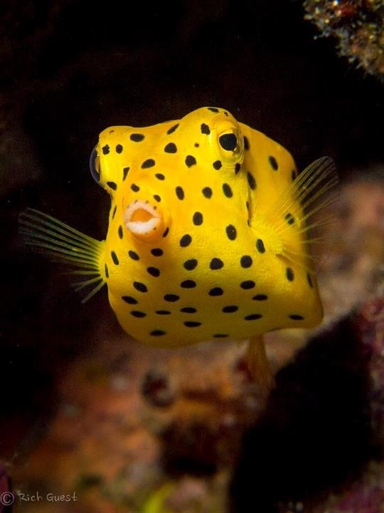 This little guy is so handsome! Ha! Yellow spotted box fish