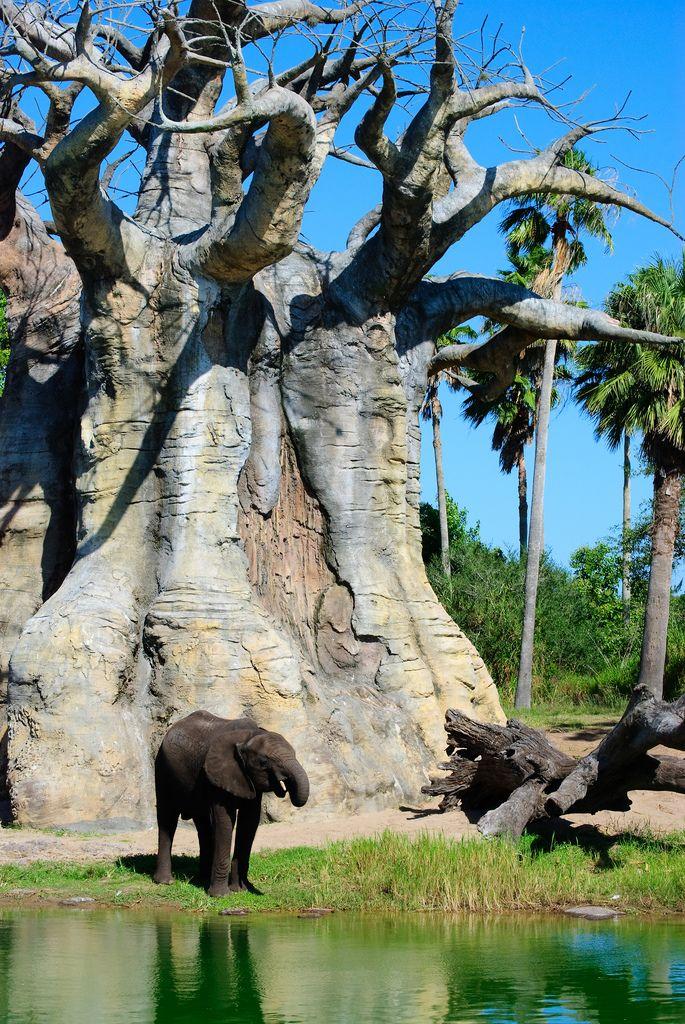 baobab tree; Young Elephant | Flickr - Photo Sharing!